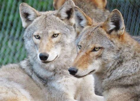coyote hybrid coyote wolf hybrids mammalian hybrids
