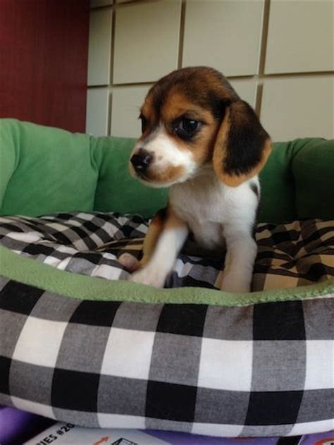 miniature beagle puppies for sale in florida 17 best images about puppies boca raton on chihuahuas morkie puppies for
