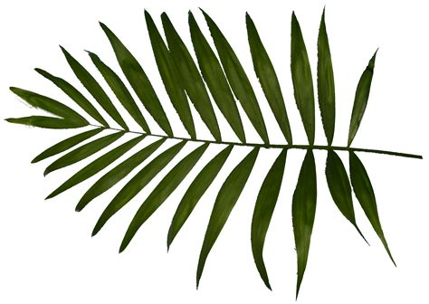 Palm Leaf palm leaves www imgkid the image kid has it
