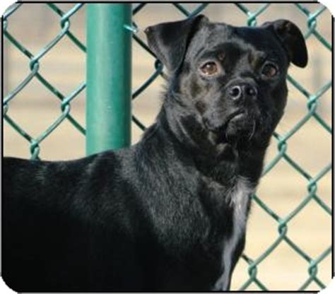 pug pinscher mix max adopted a15091196 cheyenne wy pug miniature pinscher mix