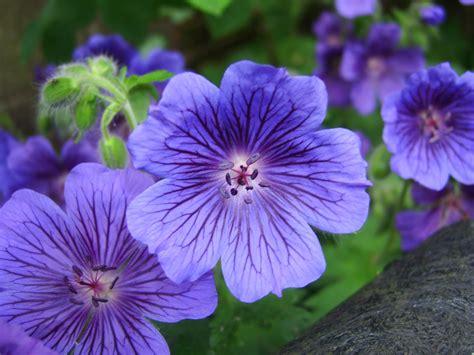 Geranium by Diary Of A Mad Gardener Blue Geranium