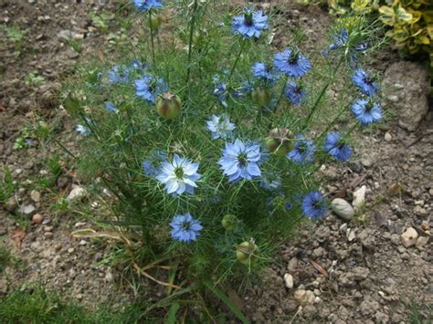 terratoonie nigella love   mist grows