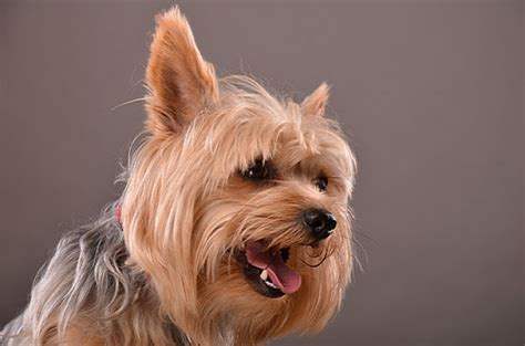 beautiful yorkies pictures of yorkies why i the terrier