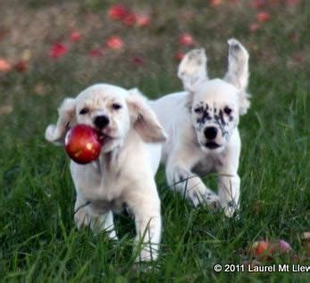 setter puppies ohio 17 best images about llewellin setters on clark gable and best dogs