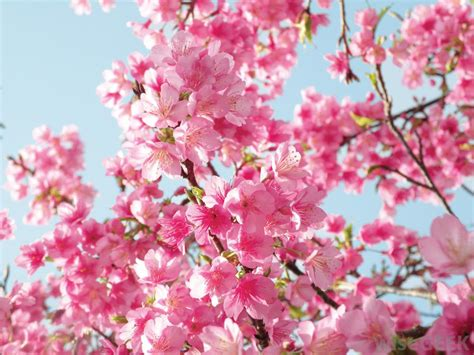 cherry blossom pictures what are the different types of cherry trees with pictures