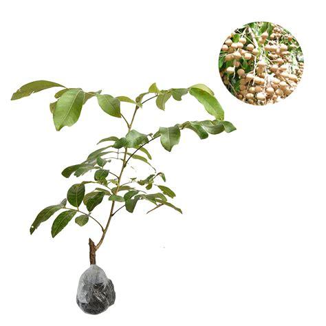 Tanaman Kelengkeng Longan tanaman kelengkeng itoh bibitbunga