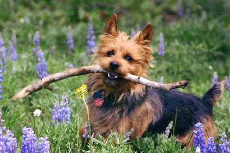 australian terrier puppies for sale australian terrier puppies for sale from reputable breeders