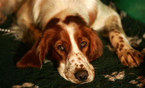 english setter dog red white lomonosov irish red and white setter 22 disappearing dog breeds