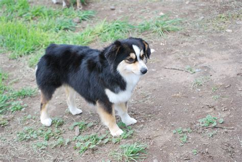 mini aussie puppies oregon puppies for sale oregon mini australian shepherd puppies for sale in breeds picture