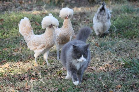 Backyard Chickens Cats Prettiest Pic Of Your Chickens Page 26
