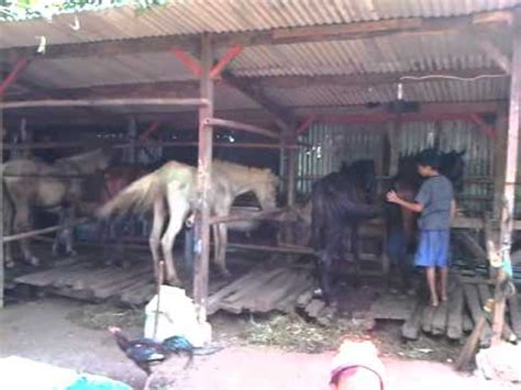Sho Kuda Malang ternak kuda jakarta hp 085711119966
