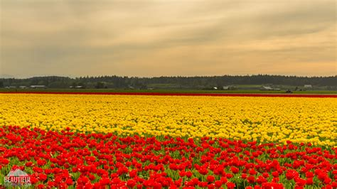 tulip feilds tulip fields at skagit valley largest floral festival in wa