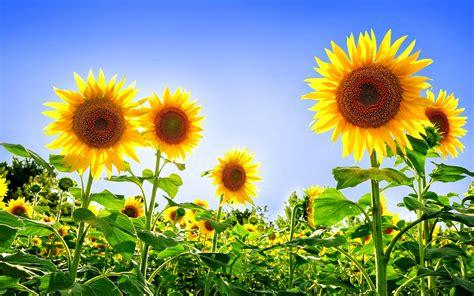 gambar bunga nusantara toko fd flashdisk flashdrive gambar bunga warna kuning toko fd flashdisk flashdrive