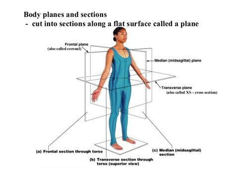 Anatomy Cross Sections by Introduction Anatomy For Physiotherapists