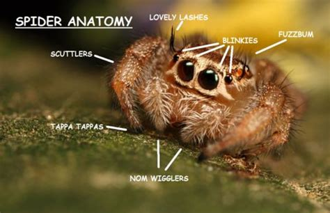 Cute Spider Memes - proper jumping spider anatomy chart adorable arthropods