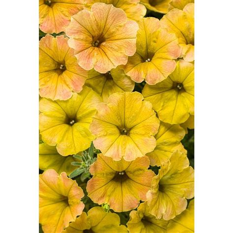 Wave And Flower yellow petunia flower www imgkid the image kid has it
