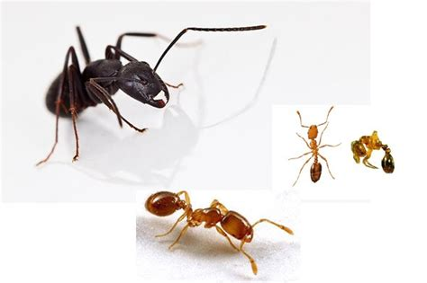 how to kill ants in house house ants 28 images how to get rid of odorous house ants facts eliminating