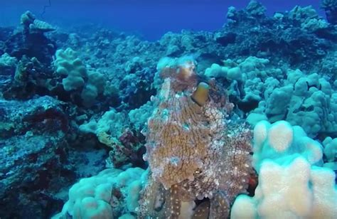 color changing octopus diver in hawaii treated to an octopus s psychedelic light