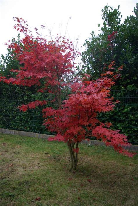 roter ahorn schneiden 2952 roter ahorn schneiden roter ahorn pflanzen pflege und