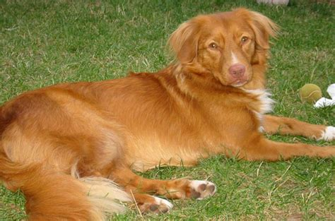 nova scotia duck tolling retrievers dogs top 10 dog breeds that love cold weather