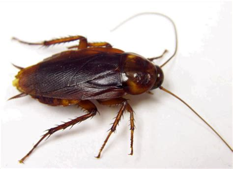 Find Similar Looking What Does A Roach Look Like What Does It Look Like Find Out Here