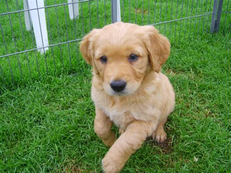 golden puppies for sale beautiful golden retriever pups for sale umberleigh