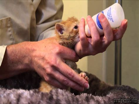 how often do you feed a up in arms about how often do you feed a kitten irkincat