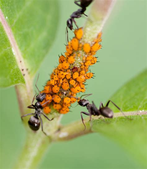 milkweed aphids and ants by mjag on deviantart