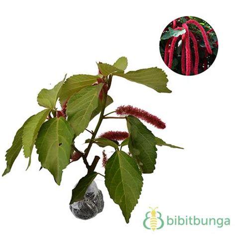 Tanaman Acalypha tanaman ekor kucing acalypha bibitbunga
