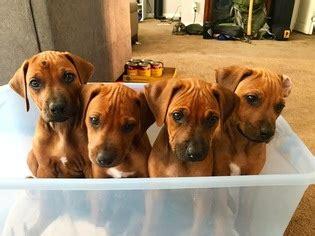 rhodesian ridgeback puppies price view ad rhodesian ridgeback puppy for sale utah salt lake city usa