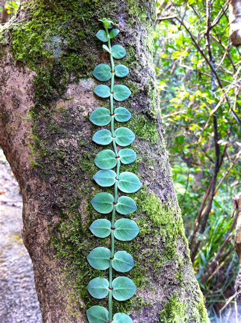 Climbing Plant Names - climbers the frustrated gardener