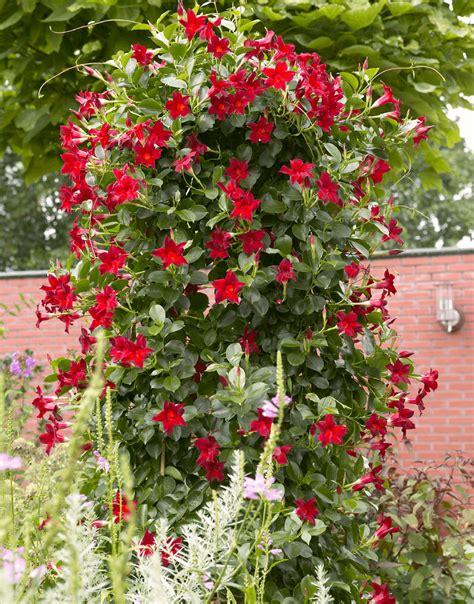 sundaville fiore sundaville world s no 1 mandevilla dipladenia