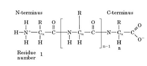 protein n terminus n terminus molecular biology