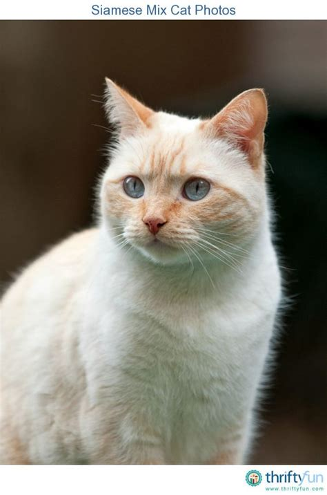 mix this with the other cats siamese and other on