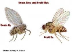 Fruit Flies In Drain Fruit Fly And Drain Fly Extermination And Control Local