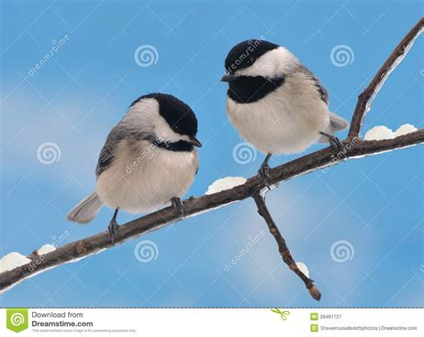 winter black capped chickadees stock image image 26461727