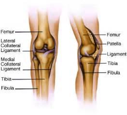 Knee anatomy bones the bones of the knee are the