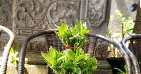 putra garden tanaman hias bambu rejeki mini unik