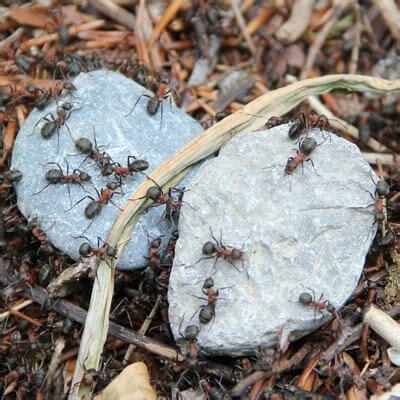Ameisenplage Im Haus by Ameisenplage Bek 228 Mpfen Ace Zydek