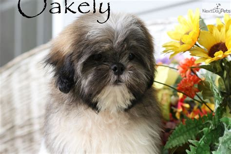 shih tzu puppies in arkansas shih tzu puppy for sale near fayetteville arkansas c5154f79 fb61