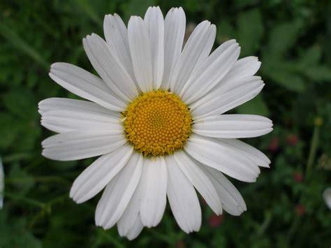 immagine margherita fiore nuova pagina 1
