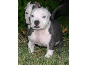 rottweiler puppies for sale in mcallen american pit bull terrier puppies for sale blue brindle pups