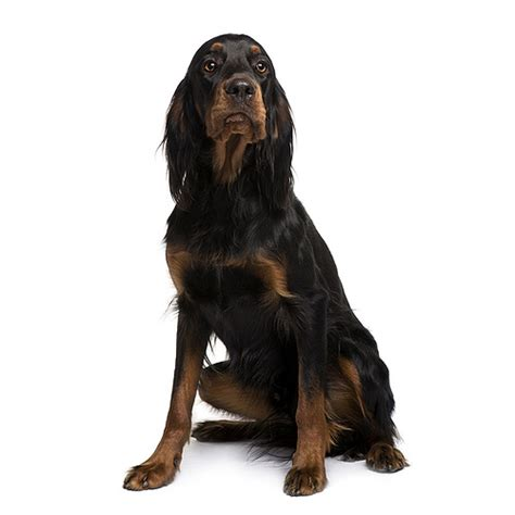 gordon setter guard dog gordon setter see description and pictures of this dog