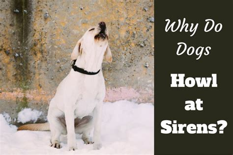 dogs howling at sirens why do dogs howl at sirens labrador hq