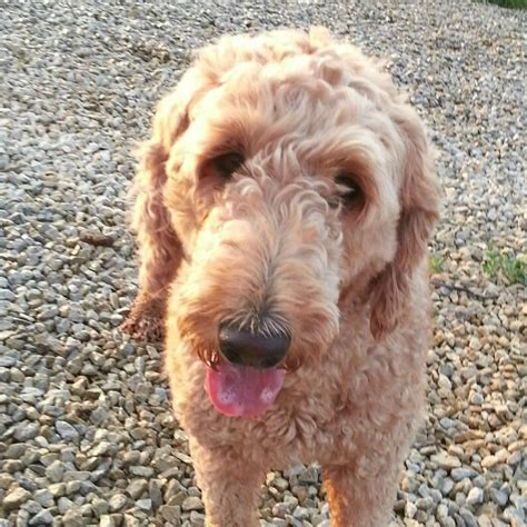 country mini doodle doodle country mini goldendoodles