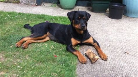 rottweiler weimaraner mix 15 great rottweiler mixes rottie mixed breeds for the win
