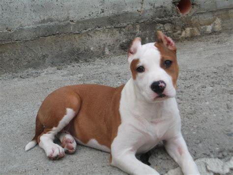 alimentazione amstaff american staffordshire terrier 211615