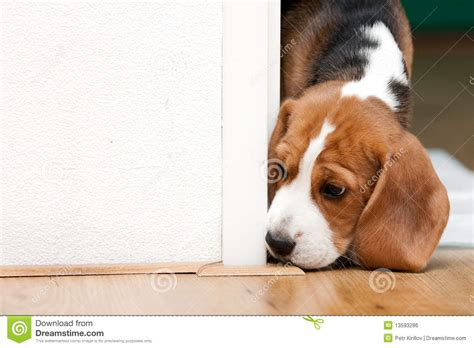 looking for free puppies small puppy looking curiously royalty free stock image image 13593286