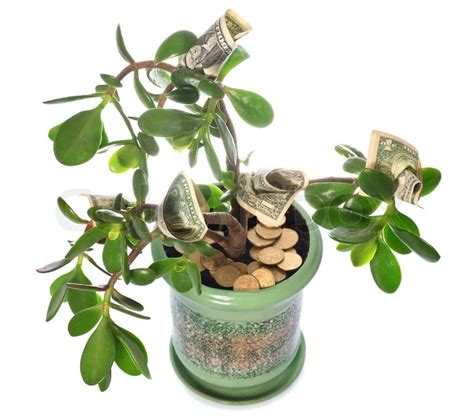 feng shui pflanzen reichtum potted home plant crassula with dollar bills in flower