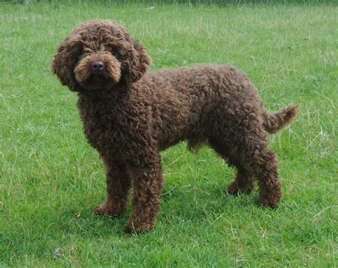 chocolate poodle puppy chocolate miniature poodle stud for sale hornsea east of